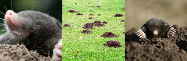 кроты поедают большое количество дождевых червей