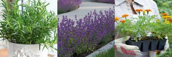 растения для отпугивания комаров