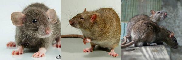 как вывести крыс