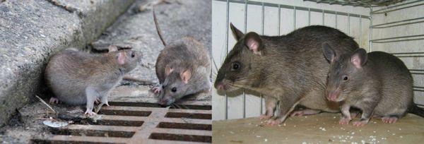 избавление от крыс народными средствами