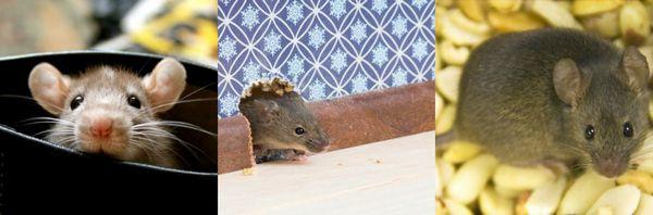 Как избавиться от мышей в частном доме