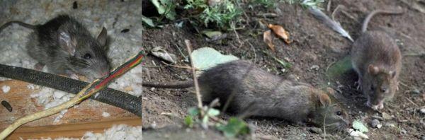 услуги по уничтожению крыс